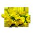 żarnowiec miotlasty