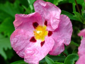 Czystek kwiat