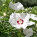 Roselle (plant) / Hibiscus
