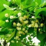 lipa (kwiatostan)