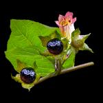 Красавка обыкновенная (Atropa belladonna)