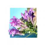 Tarczyca bajkalska