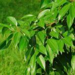 Ceylon cinnamon tree