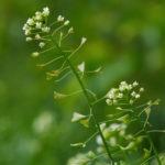 Tasznik (Capsella bursa-pastoris)